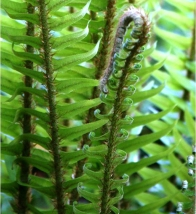 Some ferns have a brownish green area ©Gail Harker