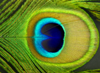 Peacock eye has wonderful possibilities for color scheme. ©Gail Harker