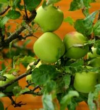 Apples. © Gail Harker