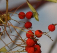 Winter Berries © Gail Harker