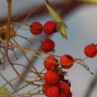 Winter Berries © Gail Harker