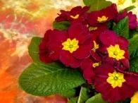 Spring Primulas © Gail Harker