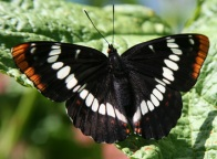 This butterfly posed for a number of peope in the group. Looking at patterns.