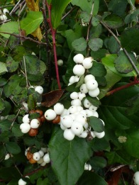 contrast between green and white berries © Gail Harker