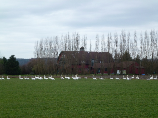 swans close to Barn