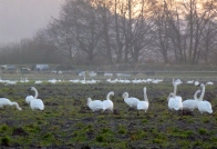 © Gail Harker swans in residence around Barn House