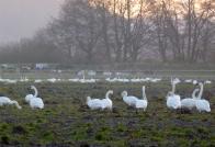 © Gail Harker swans in residence around Barn House