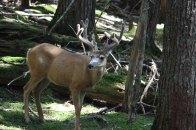 Elk in Glacier National Park