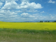 Fields of canola © Gail Harker