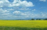 © Gail Harker fields near La Conner