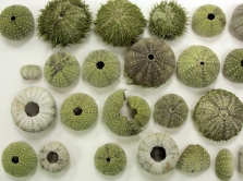 Design Inspirations - sea urchins ©Gail Harker