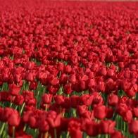 Tulip fields outside of La Conner
