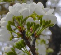 Plum Blossom © Gail Harker
