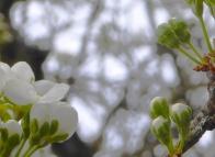 Plum Blossom©Gail Harker