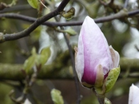 Magnolia ©Gail Harker
