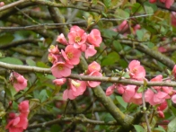 Flowering quince ©Gail Harker